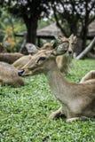 Eld& x27; ciervos de s Fotografía de archivo