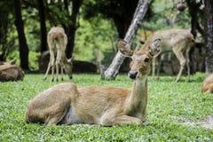 Eld& x27; ciervos de s Fotografía de archivo libre de regalías