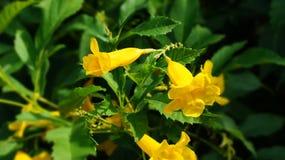 Elde jaune Image libre de droits