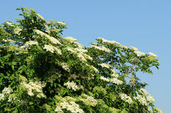 Elder. In front of a blue sky Royalty Free Stock Photos
