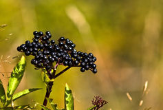 Elder berries Royalty Free Stock Image