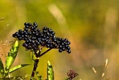 Elder berries. Close look on small black elder berries royalty free stock image