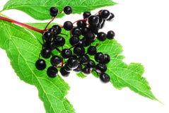 Elder berries. Black elder berries on white background Royalty Free Stock Photo