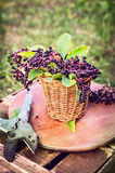 Elder berries bunch with leaves in basket and old pruner Stock Photography