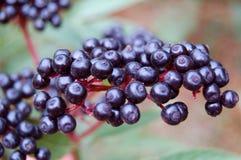 Elder berry. Branch of elder berry on natural background Stock Images