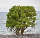 Elder berry tree Stock Image