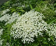 Elder blooming flowers cluster close up royalty free stock images
