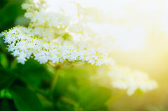 Elder blooming on sunshine in garden or park. Close up Royalty Free Stock Image