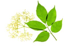 Elder blossom. And leaf before white background Royalty Free Stock Photos