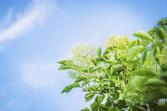 Elder blossom on blue sky background Stock Photo