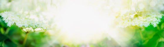 Elder blossom on light background, banner Royalty Free Stock Photography