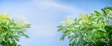 Elder blossom on sky background, banner Stock Photos