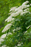 Elder. Blossoming elder flower- shallow deep of field, Latin name is sambucus nigra. Medicinal herbs in alternative and traditional medicine Royalty Free Stock Photography