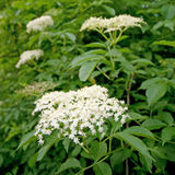 Elder. Blossoming elder flower- shallow deep of field, Latin name is sambucus nigra. Medicinal herbs in alternative and traditional medicine Royalty Free Stock Image