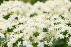 Elder. Blossoming elder flower- shallow deep of field, Latin name is sambucus nigra. Medicinal herbs in alternative and traditional medicine Stock Photos