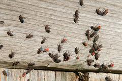 Elder Bug, Insect Bugs. Elder bugs sun themselves to keep warm. Each bug and insect like to crowd together and what, socialize Stock Photography
