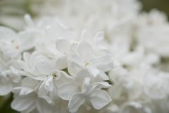 White Elder Flowers Royalty Free Stock Photo