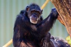 Elder Chimpanzee (Pan troglodytes) sitting on a branch Royalty Free Stock Photo