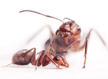 Elder dominants force young ants to submit Royalty Free Stock Photo