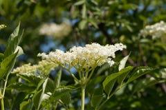 The Elder or Elderberry Sambucus nigra Royalty Free Stock Image