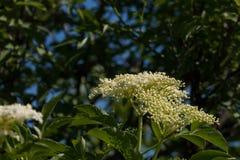 The Elder or Elderberry Sambucus nigra Stock Photography