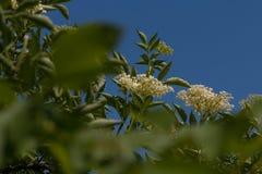 The Elder or Elderberry Sambucus nigra Royalty Free Stock Images