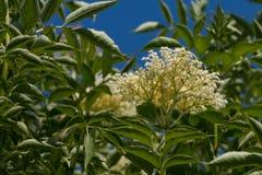 The Elder or Elderberry Sambucus nigra Stock Image