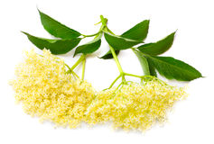 Elder (Elderflowers) - Sambuscus Nigra. Stock Photography