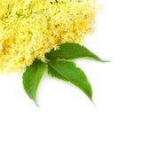Elder (Elderflowers) - Sambuscus Nigra. Sambucus nigra - Elder - The flowers and berries are used most often medicinally against flu and fever, angina, etc Royalty Free Stock Photos