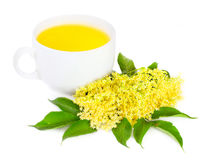 Elder (Elderflowers) - Sambuscus Nigra. Stock Images