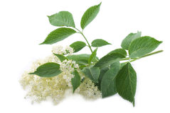 Elder Flower Royalty Free Stock Images
