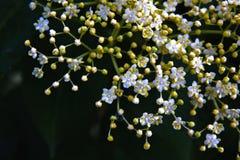 Elder flower Stock Photo