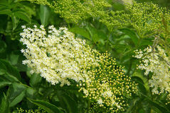 Elder flower royalty free stock photo