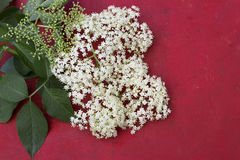 Elder flower blossoms Royalty Free Stock Photo