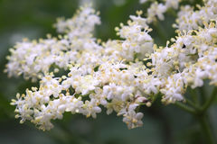 Elder Flower Royalty Free Stock Photography