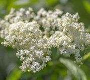 Elder flower closeup. White elder flower closeup in sunny ambiance Stock Photography