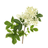 Elder flower Stock Photography