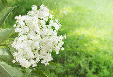 Elder flower on garden background Royalty Free Stock Photos