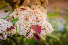 Elder Flower On Garden Royalty Free Stock Image