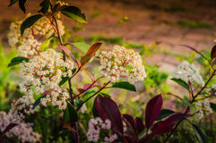 Elder Flower On Garden Stock Photo