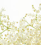 Elder flower Royalty Free Stock Image