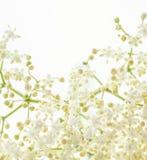 Elder flower Royalty Free Stock Image
