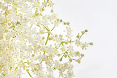 Elder flower. Healthy elder flower on white background Royalty Free Stock Images