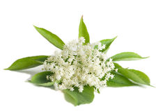 Elder flower isolated Stock Photography