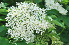 Elder flower (Sambucus nigra) Royalty Free Stock Photo