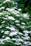 Elder flower (sambucus nigra) Royalty Free Stock Photography