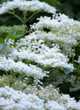 Elder flower (sambucus nigra) Stock Photos