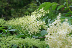 Elder flower in spring Stock Images