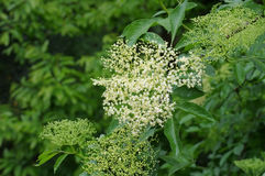 Elder flower in spring Royalty Free Stock Images