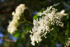 Elder flower Stock Image